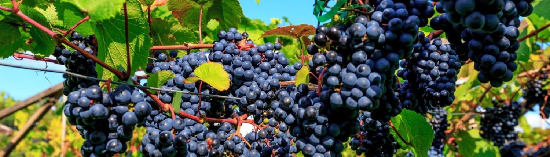Vesterhave vin